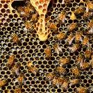 Coronavirus, il lockdown riduce i veleni per le api ma frena l'apicoltura mettendola a rischio